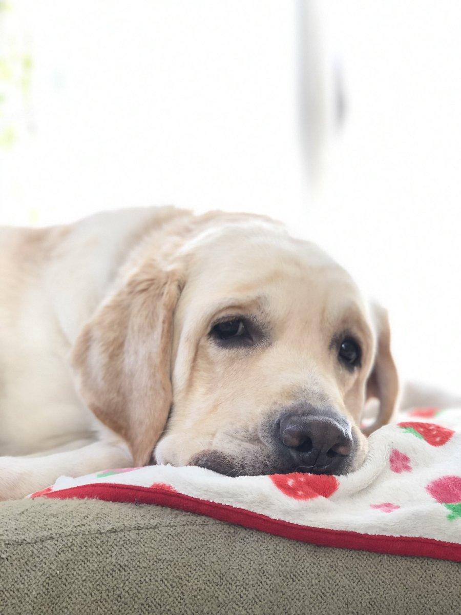 ソファーの掃除をしてるとすぐに乗っかってきて本気寝をする犬。掃除できん。かわいくて。