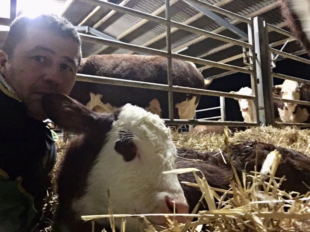 Long night birthing this fella and then getting his first feed into him. Not easy trying to get a big dopey exhausted calf to suckle. #farmlife #longnight #calving2020