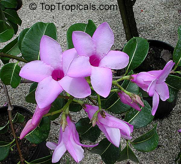 """#Cryptostegia grandiflora -Rubber vine has large (2"""" across), showy, lilac flowers with a broad funnel-shaped tube and five spreading lobes. Leaves are very ornamental, wide, deep green and waxy.   #floweringvines #ornamentalplants rareplants #TuesdayTreats"""