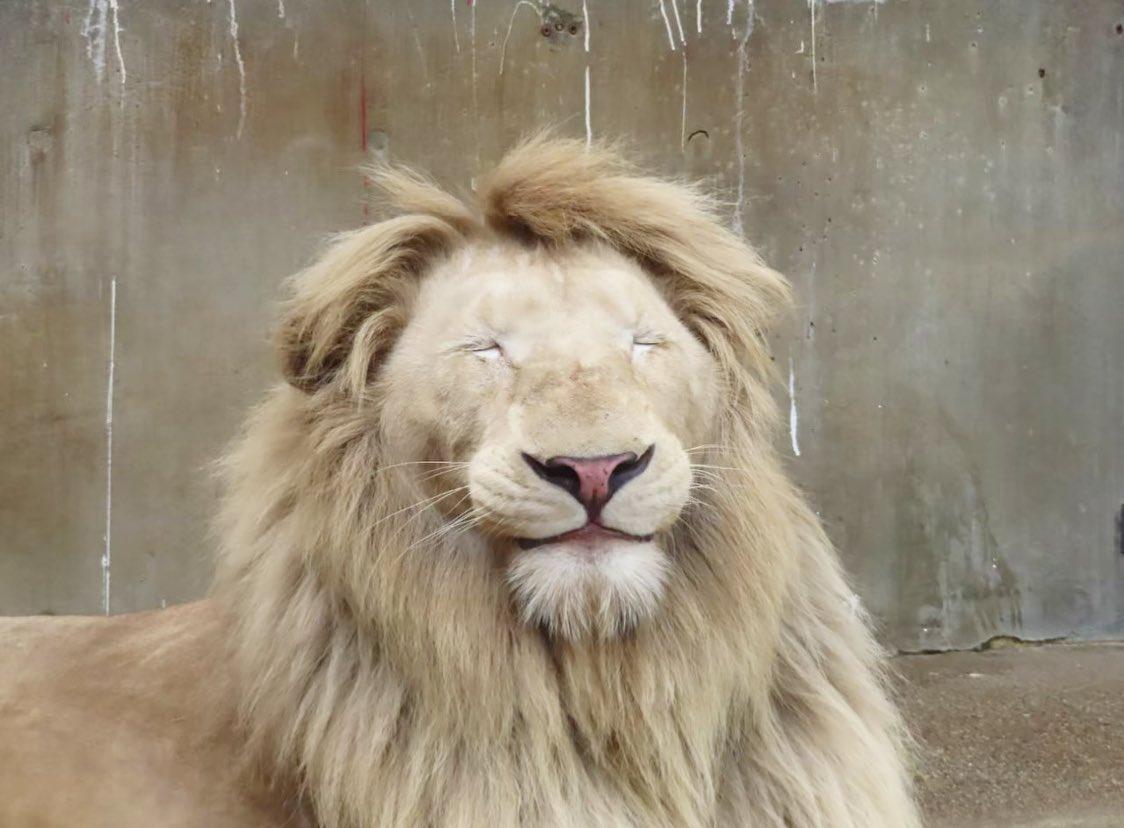 優しい寝顔☺️(は)#ホワイトライオン #ライオン #猛獣#ステルク #宇都宮動物園