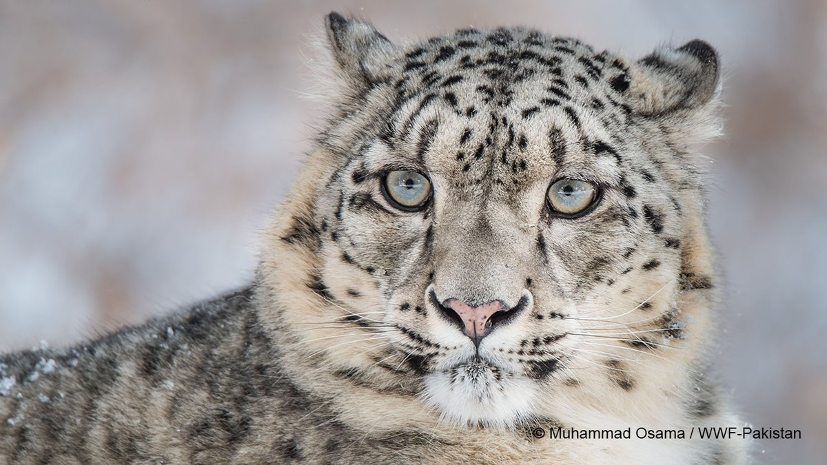 Happy #SnowLeopardDay. The elusive and enigmatic snow leopard is rarely seen, almost like a ghost👻This big cat has lived alongside humankind for several millennia🐆however, this has not always been a harmonious co-existence. Want to know why?👇