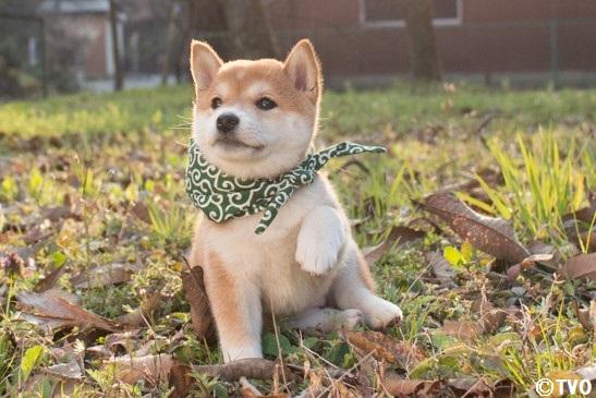 すっかり秋🍂ですね、豆助。😊17代目豆助。#柴犬 #shibainu  #豆助 #puppy  #子犬 #イッヌ #강아지 #chiot  #cucciolo #Hündchen #VALP #perrito  #щнeok #落ち葉