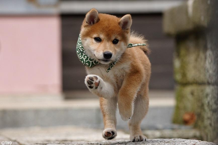 ツッコミをしてみた豆助。😁20代目豆助。#柴犬 #shibainu  #豆助 #puppy  #子犬 #イッヌ #강아지 #chiot  #cucciolo #Hündchen #VALP #perrito  #щнeok