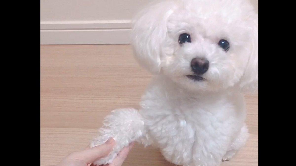 ✨愛犬たぴちゃんの可愛い芸コーナー✨めっちゃかわいすぎん?天使すぎない??