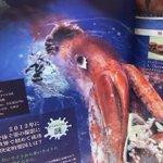 Image for the Tweet beginning: 今日の深海生物を語っていきます!  何もかもがダイオウに合ってる! ダイオウイカです。  頭部分(外套膜)で5m 全長で18m(20m級がいた情報も)  目玉は30〜40m(バスケットボール並) 吸盤は10cm前後!  だがアンモニア臭が酷い!  #深海生物 #深海 #見たらいいねして #深海生物語り #深海生物の謎