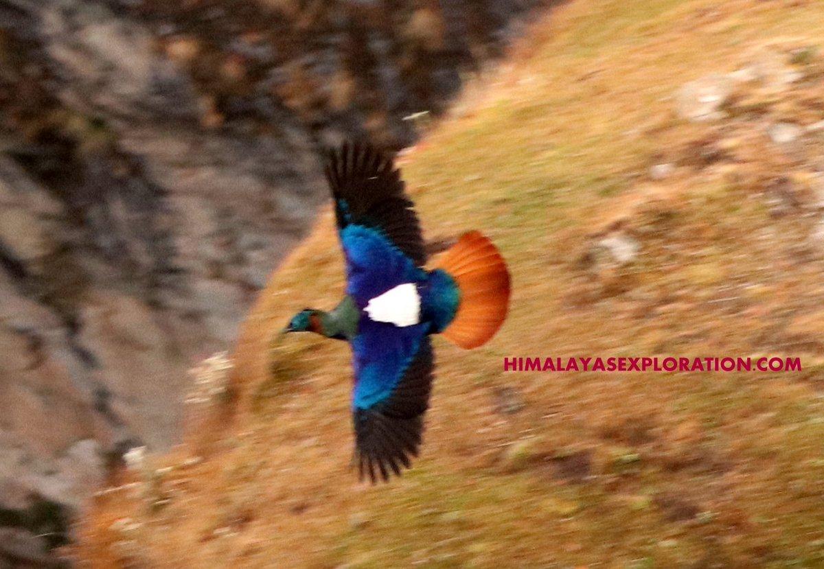 Flying #Monal #Himalayan or #MonalPheasant over Chopta's #meadow  #Birding in #Chopta Valley #Uttarakhand  #Guide https://t.co/bq0BZonHqt