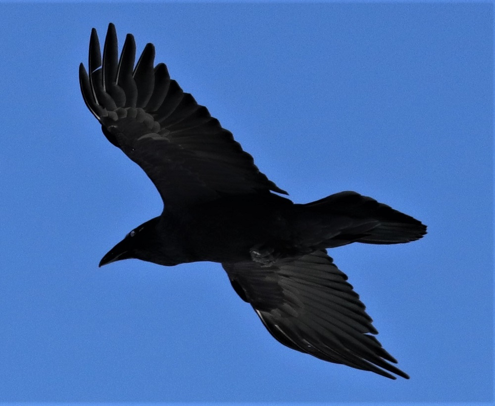 This Common Raven was spotted at @Algonquin_PP by andreakingsley.   Did you know a group of ravens is called an unkindness? https://t.co/JRZ48UeQpz   #SpottedOniNaturalist https://t.co/t0ND2zbjme