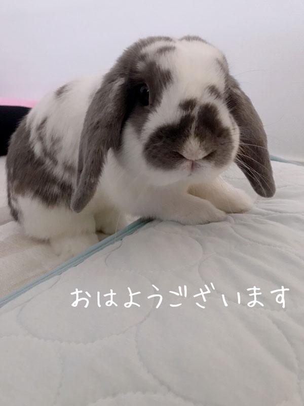 [うさぎラブWe love bunny] うさまるくん「朝ですよ。なでてくださる?」#うさぎ #bunny #usagi #pet #rabbit https://t.co/MJ0hzgPray https://t.co/uz5wENvvAp