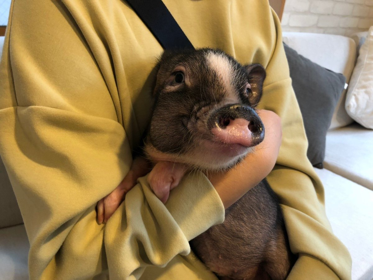 welcome to mipig family🐽✨ ・ #mipig #mipigcafe #mipigfamily #micropig #マイクロブタ #マイクロブタカフェ #pig #piggy #pet #ペット #動物好き #家族 #family https://t.co/NUNt6LUH3j