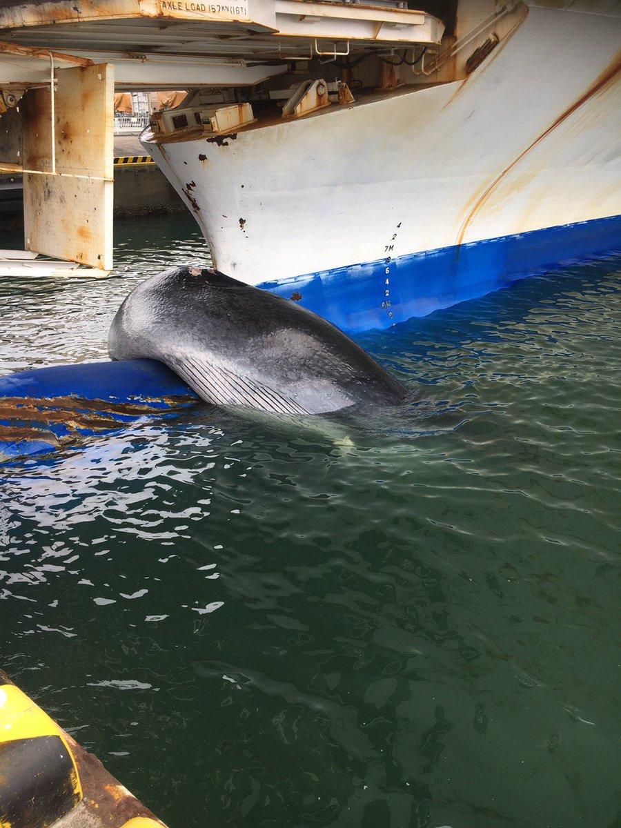 10/22仙台港に定刻で入港した「いしかり」から送られた画像です(1枚目)。着岸直前に陸上社員からバルバスバウに鯨が乗ってないか?との事で確認すると…直ぐに関係官庁・専門機関にご報告をし、体長12mを超える「シロナガスクジラ」だと判明。滅多にない出来事で乗組員も驚いています。