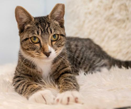 """🙏🏽PLZ SHARE 💛PLAYFUL, TALKATIVE 5MO BROWN #TABBY #KITTEN """"KENDRA""""💛 📯NEEDS A CAT SAVVY🏘#FOREVERHOME🏘 ➡4 INFO https://t.co/MBxZGuuRKU ➡📽https://t.co/UcqwW71j1p 🙏🏽#ADOPT #AdoptMe #AdoptDontShop #OAKLAND, #CA #NORCAL #CAT #CatsofTwitter ✅CATS @mainecoonadopts #CatsOfMCA https://t.co/7Yw7kSBR6F"""