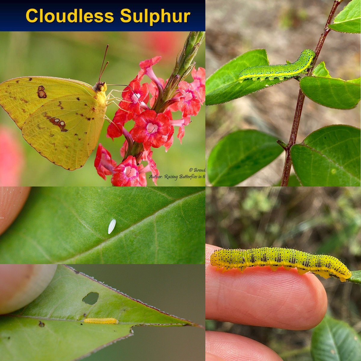 Cloudless Sulphur (Phoebis sennae) caterpillars can be green or yellow depending on what part of the plant they eat. Their host plants are various species in the genera Chamaecrista and Senna in the pea family (Fabaceae). https://t.co/KvfrBoGnMi
