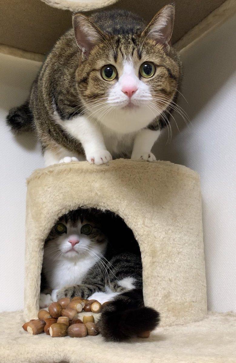 #どんぐりころころ やってみたにゃ!#YouTube #アメブロ#どんぐり #反応#猫 #ねこ #neko #cat #cats 『■ どんぐりころころ』