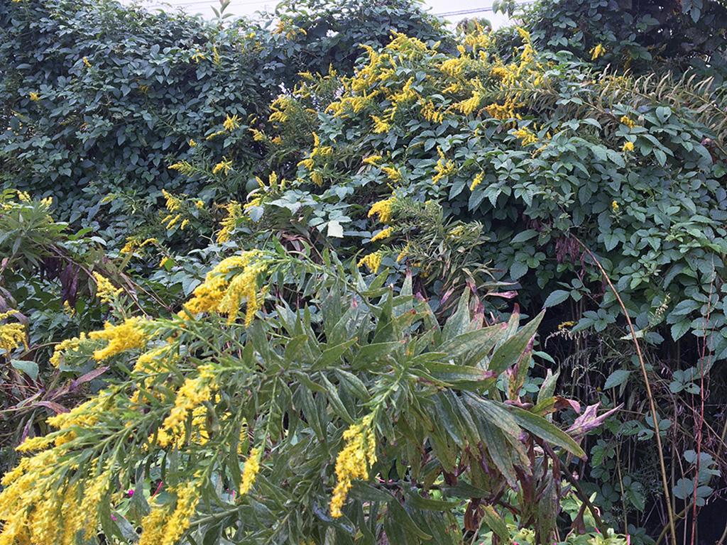 【 #街かどで見つけた季節の花々 】市川法務局近くの空き地で見つけた群生する野生の黄色い花。 #セイタカアワダチソウ でしょうか? (S)  #市川 #景観 #まち歩き #まちづくり https://t.co/ZkpTHxirFp