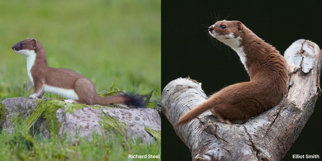 The best way to tell apart a stoat & a weasel? The tail! A stoat has a long tail compared to its body & the tail has a black bushy tip. A weasel has a shorter, stubbier tail which is entirely brown.  #MammalWeek @Mammal_Society @AvalonMarshes @WildlifeTrusts @WildlifeSW https://t.co/4wKjmKvvKC