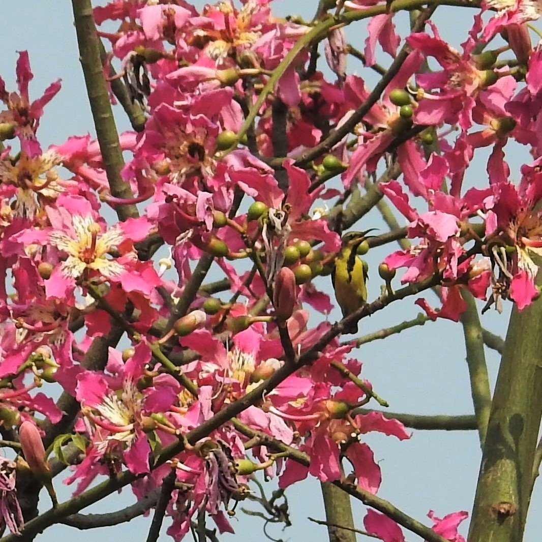 I can't think of anything more festive than these changed colours. The green-trunked silk floss tree is now donning bright fuchsia blossoms, and the Purple Sunbird is no longer purple, but in Eclipse form.  Have a great year end and festive season! @IndiAves @Avibase https://t.co/jzsOSTTnhg