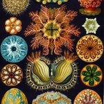 Image for the Tweet beginning: Another Ernst Haeckel, from 'Kunstformen