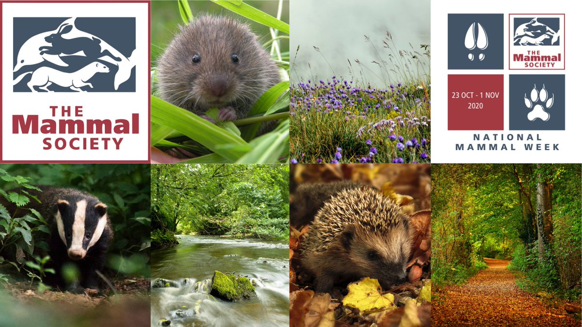 1/4 of Britain's #Mammals risk extinction. This #MammalWeek help them by using @MammalMapperApp to tell @Mammal_Society what you see. Whether a squirrel from your window, a mouse in the garden or even a badger killed on a road. More info at  https://t.co/54fqyeHvpS https://t.co/AhycYJCSOH