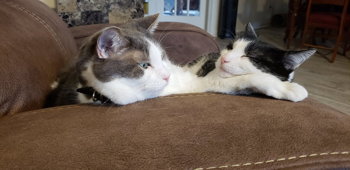 On this #Caturday, a little Clyde and Sassy Socks love. I have never had 2 cats adore each other so much. Here Clyde offers his paw as Sassy's pillow. @joebonsall https://t.co/D1XzVWtzl4