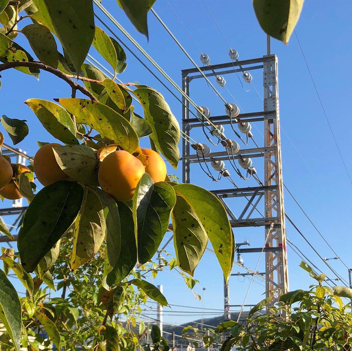 秋の彩り、柿の色付き。 うちのコや思うと何かうきうき。 渋柿かな思うてたけど、何かが食べたっぽい跡があるなぁ、鳥さんかな?  #persimmons #fall #autumn #autumncolor #autumnscene #plants #tree #fruit #nature #柿 #かき #カキ #果実 #柿色 #harvest  https://t.co/fg5TJ75fYI https://t.co/iLOBasfKsM