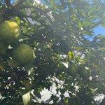 Image for the Tweet beginning: 柑橘の木が2本、敷地内にあり、いただいてよいとのこと🙌ひとつは種がたくさんのすーっぱい、レモン🍋🍋🍋無農薬といえばそうなのだけど、放置したままの産物。ありがたい🙏  レモンはなかなか無くならなさそう。お近くにお越しの際はぜひ(笑)