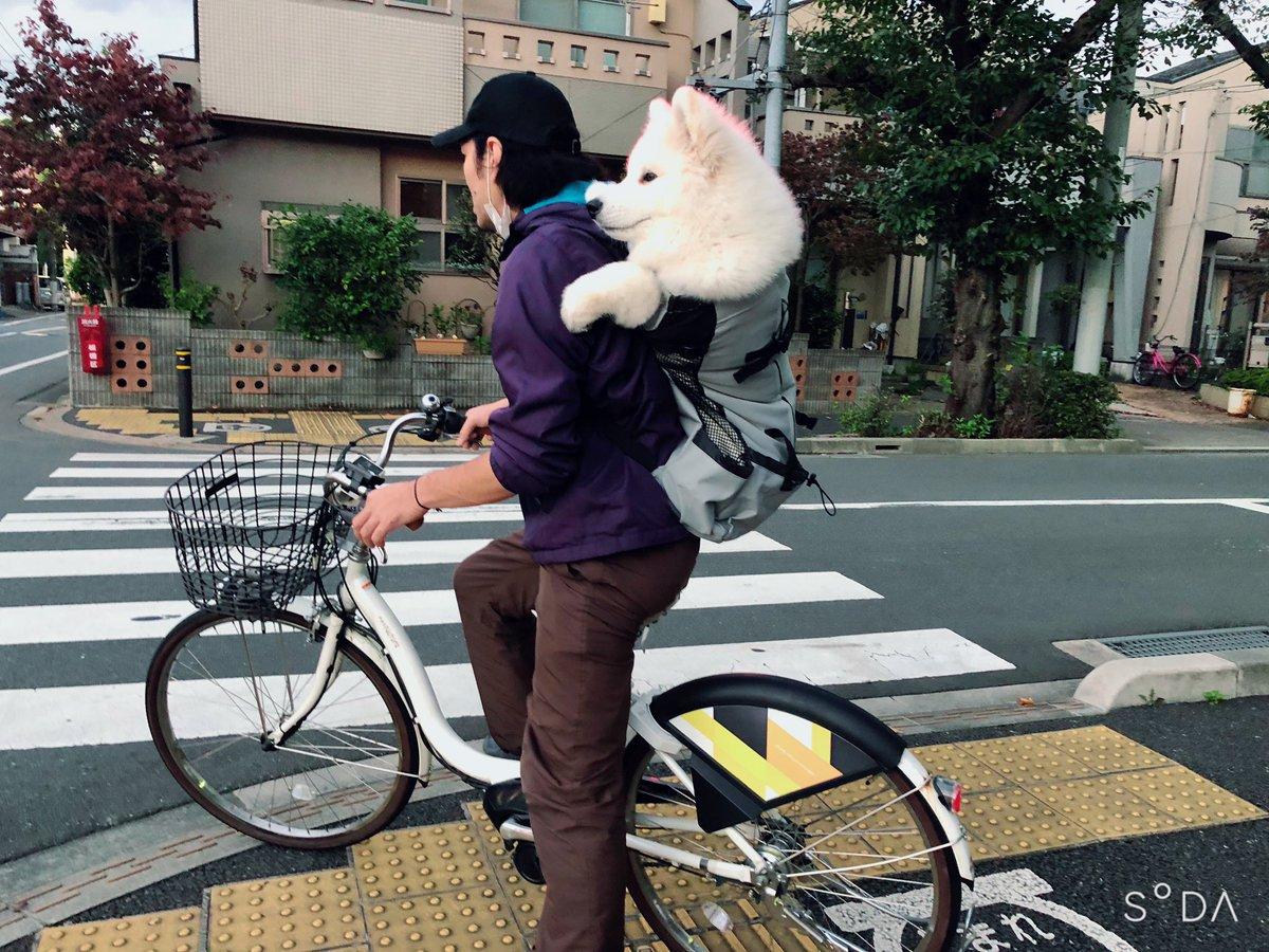 昨日は自転車でドッグランに行きました♪めちゃくちゃ二度見されるムクムクボディ。笑毛のせいではみ出して見えますが、意外としっかり収まってます!人通りが少なくなった帰りは自転車で走ってみましたが、まだまだうねうねしてしまいがち。#サモエド