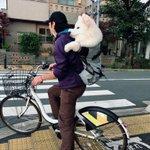 ムクムクボディが魅力的!自転車でドッグランに向かうサモエドの姿が可愛すぎ!