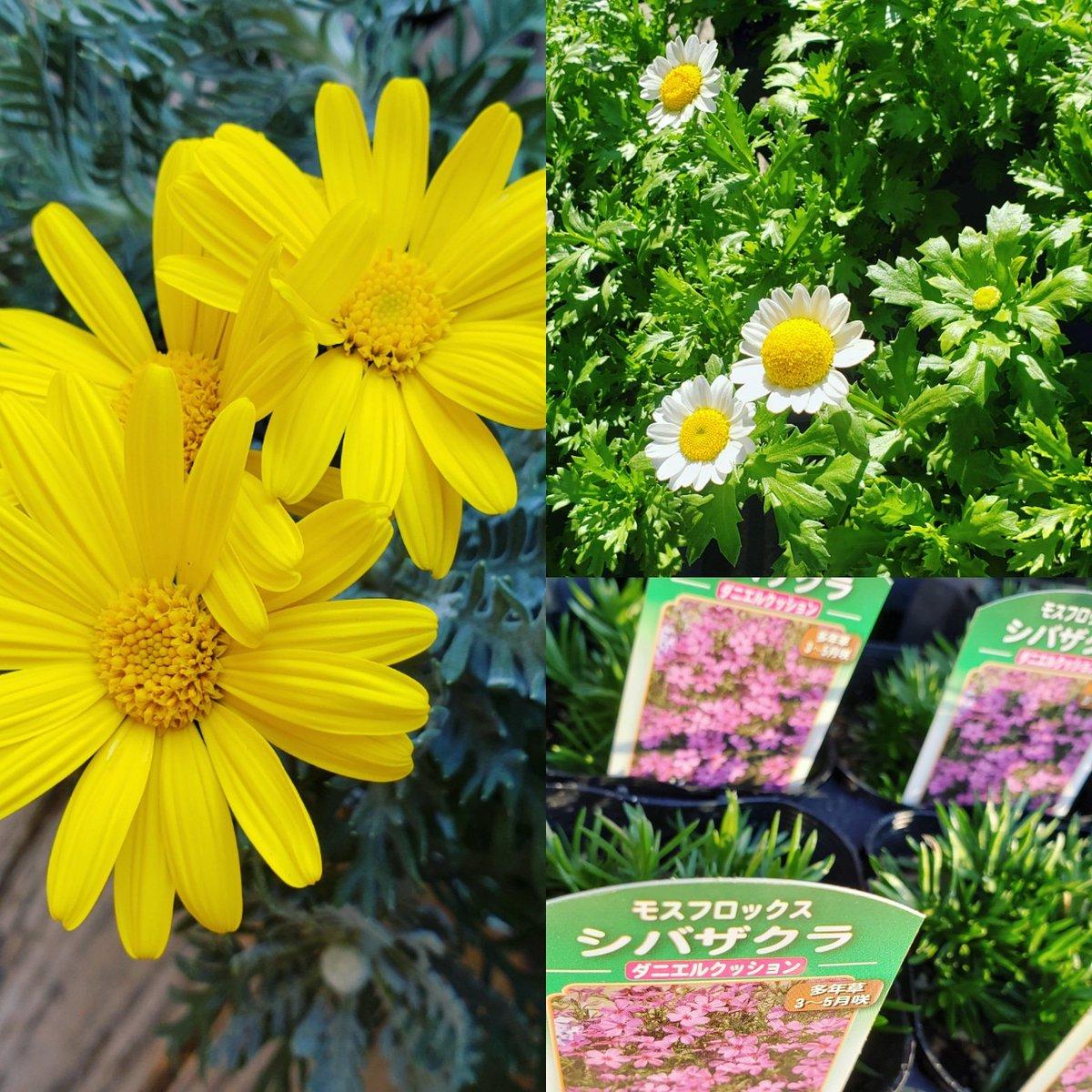 ・ 春の準備。気が早い? 冬もすぐだったから春もすぐだよ('ε ')  春のお花は寒いうちに植えておいてね。寒さを乗り越えて咲き誇ります!!  #ユリオプスデージー #芝桜 #シバザクラ #ノースポール #パンジー #ガーデニング #ガーデン  #garden #花苗 #鉢植え #庭 #花壇 #寄せ植え #園芸 https://t.co/55SCQx4ft1