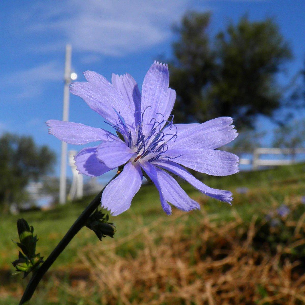 Ale, a disfrutar la imagen y la mañana... #achicoria #buongiorno  #bleu #colours #botany #natural #greennature #azules #naturephotography #flowers_super_pics #flowers #nature #verde #floresilvestres #blue #fotografia  #flores #flower #flor #artphoto  #naturaleza  #azul #azzurri https://t.co/kToaTUc8dz
