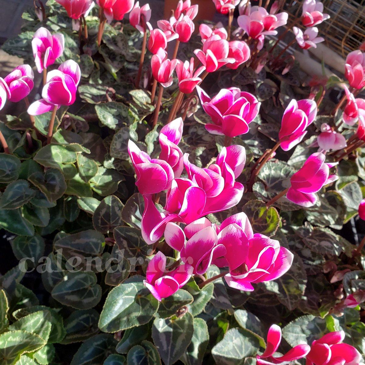 毎年人気の #ガーデンシクラメン♪強いシクラメンです。屋外用です。  #ユリオプスデージー #芝桜 #シバザクラ #ノースポール #パンジー  他にもたっぷり入荷してます!!  #ガーデニング #ガーデン  #garden #花苗 #鉢植え #庭 #花壇 #寄せ植え  #花のある暮らし  #植物のある暮らし https://t.co/B1OP61BJkQ