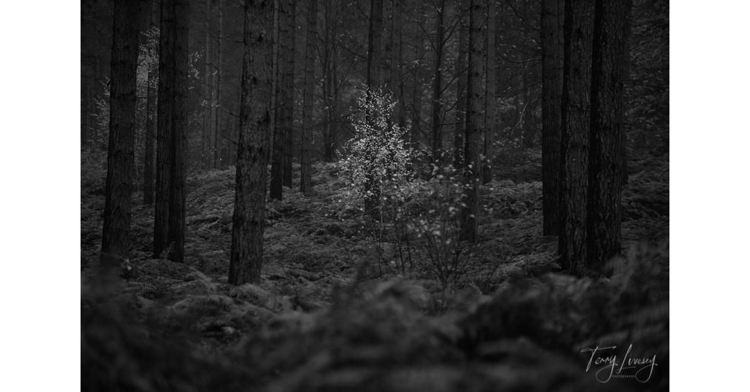 Title: Forest Sparkle Sunday Landscape 📸 Enjoy 😁 . . .  #photography #landscapephotographer #landscape #instagood #photooftheday #landscapephotography #nofilter #sonnenuntergan #amazing_picture_nature #trees #mist #autumn #autumnlandscape #forest #silverbirch #bw https://t.co/xKpCrEyT83