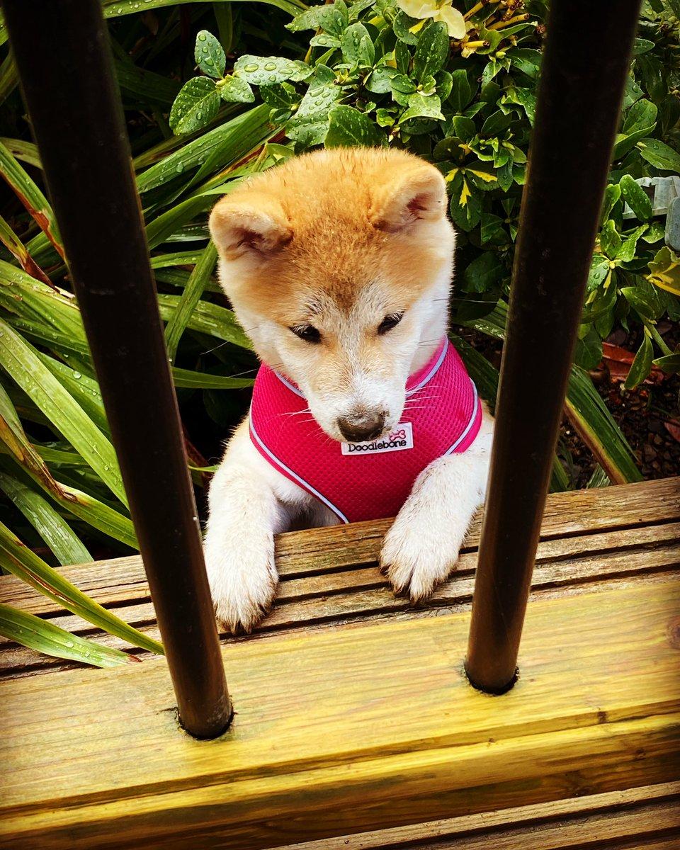 #puppy #playtime #shibainu #muddy https://t.co/KRITPJR9YJ
