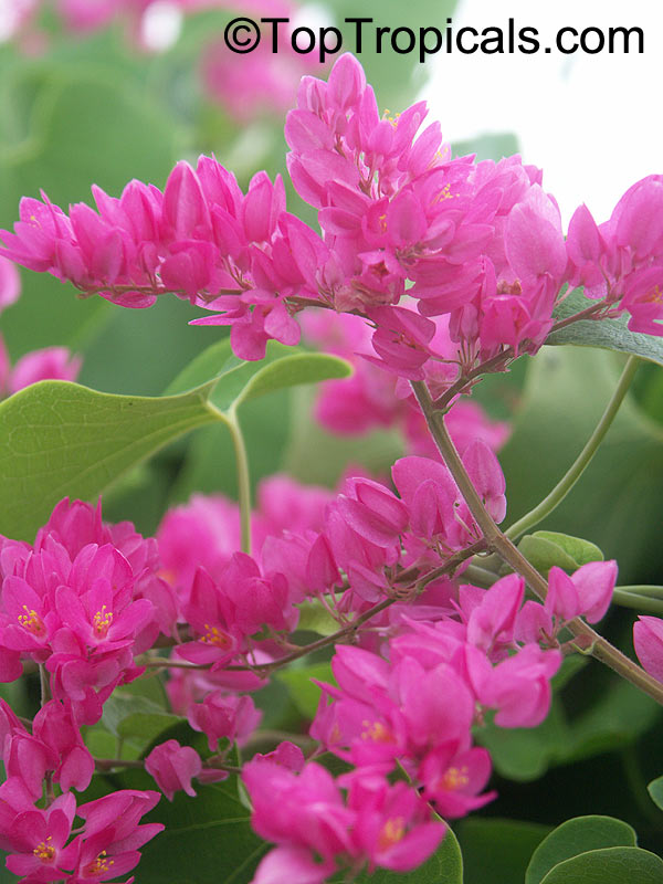 #Antigonon leptopus - Mexican Coral Vine is fast-growing delicate vine with bright pink flowers. Very fast growing, will cover a fece in one season. Blooms most of the year. Cold hardy!   #floweringvines #ornamentalplants #SundayFunday