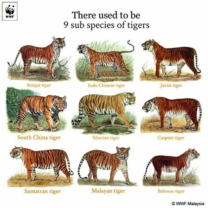 #DYK There used to be 9 sub species of Tigers. But poaching, habitat loss & other human conflict has led to extinction of 3 sub species - Balinese Tigers, Caspian Tigers & Javan Tigers.  P.C. @WWF https://t.co/CMsWgV34YR
