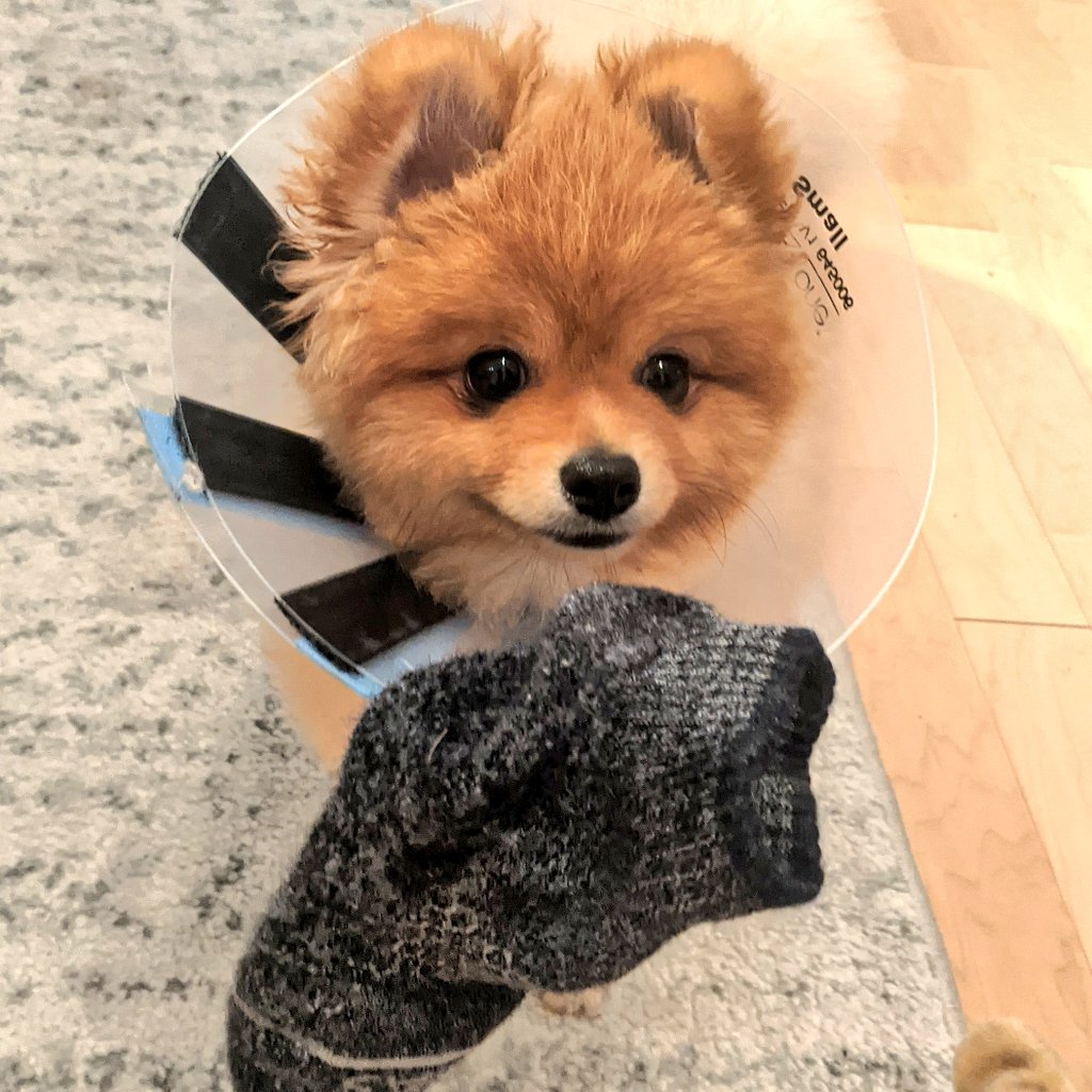 Pierre got a sock stuck to the velcro on his cone and he is now feeling very accomplished.