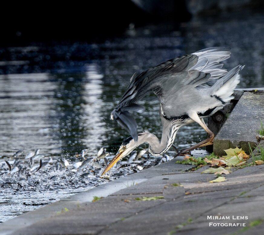 Catch of the day! @ZOOMnl  @NatGeo @IamNikonNL @NikonClubNL #NaturePhotography #natuurfoto #photooftheday #nikon #nikonglobal #naturelovers #birds https://t.co/tmNsIbA5zA