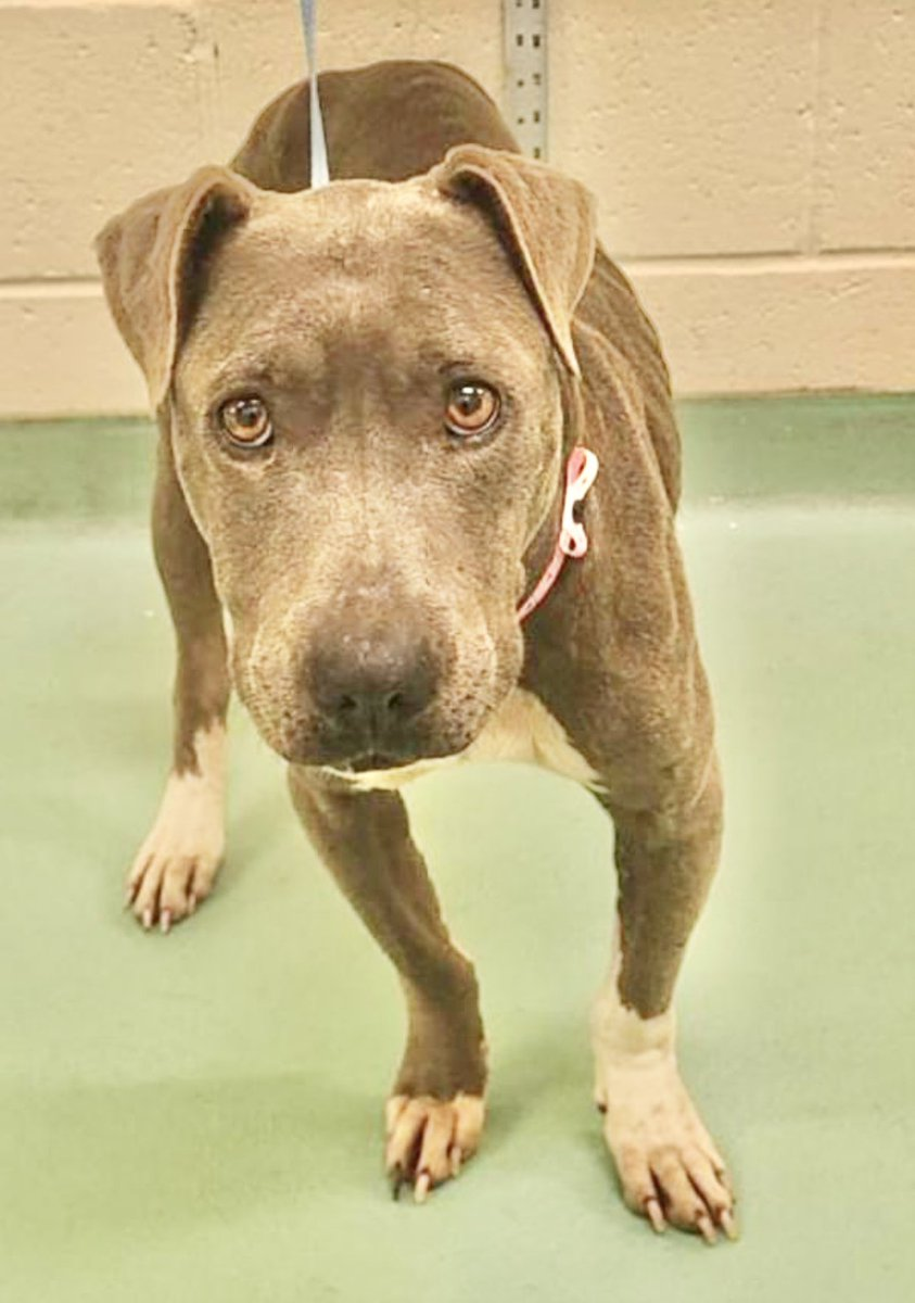 #TN #MEMPHIS 🆘🆘SPECIAL PLEA Rory 1yo girl HAS A MAMMARY MASS Needs MEDICAL TRANSFER for pre-anaesthetic work up, mass removal & spay. Pls help this youngster get the care she badly needs🙏🏻 #ADOPT #PLEDGE #RESCUE #FOSTER #MASA1464 https://t.co/krOd9oWBno https://t.co/muhjXiumm8