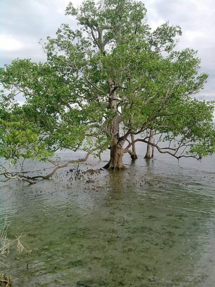 @DENROfficial @denr_emb  Mangroves are vital for marine life and environmental protection   You people in DENR needs to RETHINK YOUR MANDATE !   USEC Benny Antiporda must resign his not qualified ! https://t.co/3yEMogSwlH