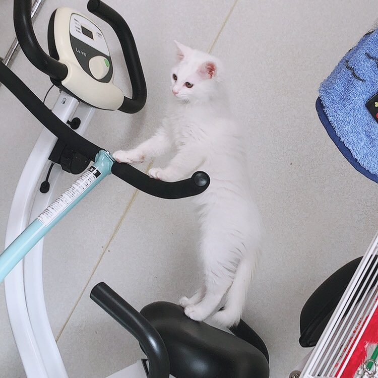 だいふくさん伸びてるよ🤣 みんなに太っちょって言われてダイエットかな?🐷まだまだ大丈夫よ!   #だいふくくん #猫 #伸びる猫 #白猫  #子猫 #猫ダイエット #猫のいる幸せ   #猫のいる暮らし  #猫好きさんと繫がりたい  #猫好きと繋がりたい https://t.co/gR1HtVFXzm