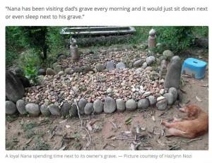 【深い絆】飼い主のお墓参りを2年間続ける…マレーシアの猫が話題に亡くなった男性の娘によると、猫のナナは朝になるとお墓の前にやってきて、しばらくの間はそこで過ごしているという。