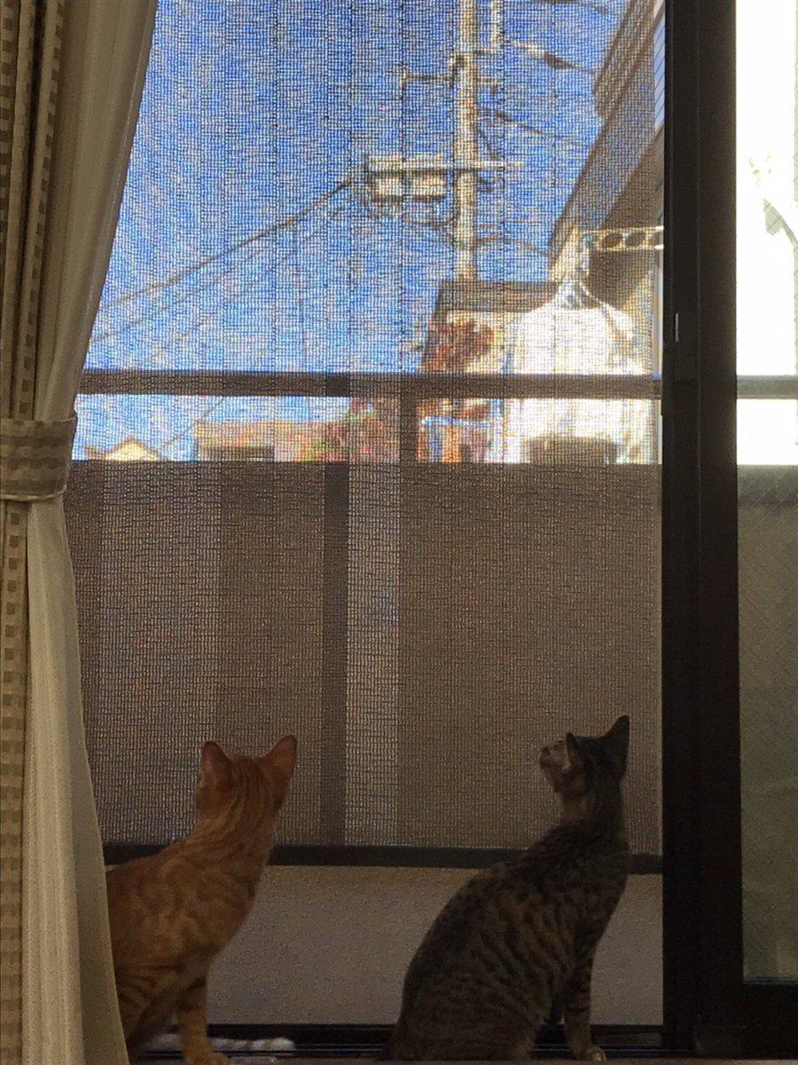 座・鳥チェック  #猫 #子猫 #保護猫 #猫好き #猫繋がり #茶トラ #キジトラ #キジ猫 #ミル #チップ https://t.co/1bqKaJaPSh