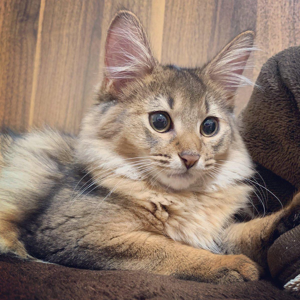 おそようございます  #猫  #ソマリ #ソマリルディ #子猫 https://t.co/BBTsPMnGBk