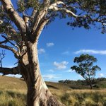 Have you wondered how the tangled limbs of an old River Red Gum grew on your property? Or watched insects and birds live their life on a Yellow Gum? EOI's are open for our #GrassyEucalyptWoodlands Stewardship Program'. Visit us online: https://t.co/E47Bg4nFnG. #NLP @LandcareAust