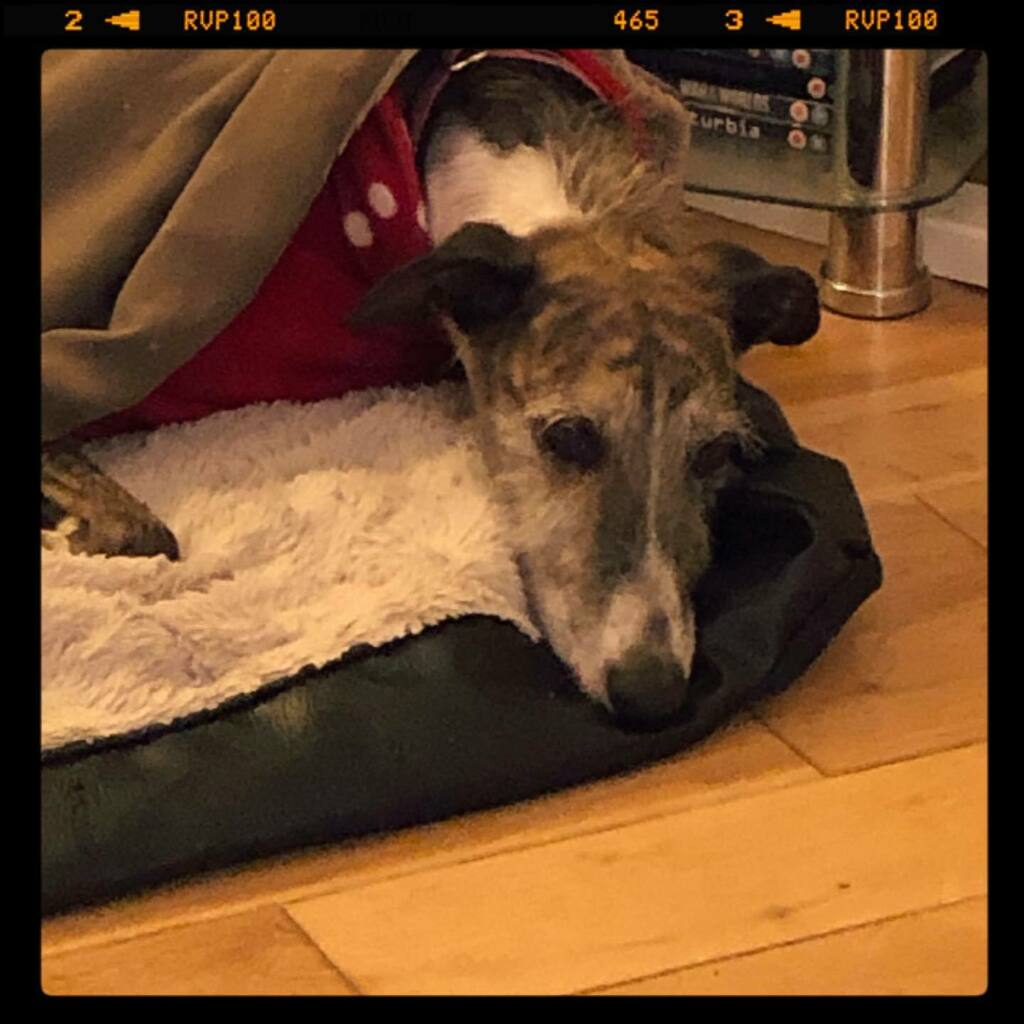 Ready for bed - after a hard day of sleeping, eating, rolling in dog-mess and having a bath because I rolled in dog-mess! #galgo #rescuedog #dogsofinstagram . . . . .  #instagramdogs #petstagram #dogs_of_instagram #puppylove #weeklyfluff #ilovemydog #dog… https://t.co/g0k1sH2apI https://t.co/ze5slz1ir5
