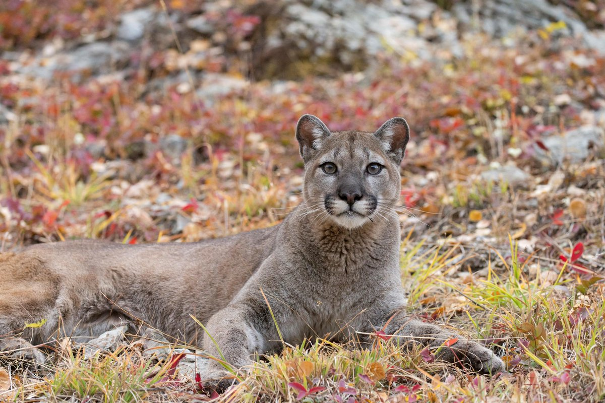 Cougar Experts Weigh In On That #ViralVideo bit.ly/31IqQn8
