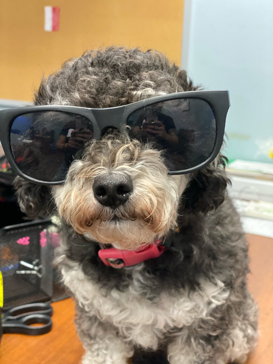 Photos of the year ? Bella rocking some cool glasses 🤓. #petsofinstagram #pets #petstagram #dogsoftwitter #dogs #DogLife #dogdad #poodle https://t.co/RwsUJquyZ9