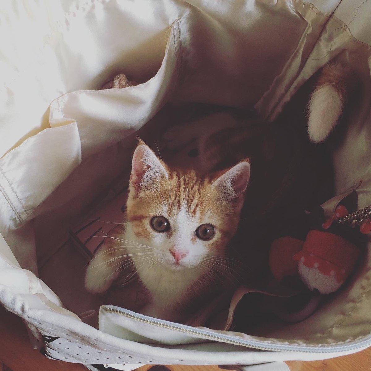 バッグに入って、あたちも一緒にお出かけするにゃ(ू•‧̫•ू⑅) #スコティッシュフォールド立ち耳 #スコティッシュ #子猫 #ねっこ #こねっこ #ネッコ #コネッコ #ねこすたぐらむ #ネコスタグラム #猫のいる暮らし #猫のいる幸せ #子猫のいる暮らし https://t.co/m24cYGNqq8