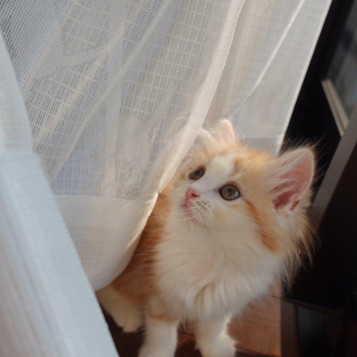 何か考えごとしてるのかな?  #猫 #子猫 #マンチカン #ねこ #ねこ部  #猫写真 #ねこと暮らす #もふもふ #レッドタビー #長毛 #ねこのいる生活 #ねこのきもち #kitty #munchkin #cats #cat #catoftheday #redtabby #meow #午後ねこチャンネル https://t.co/yMZfJ1gUEH