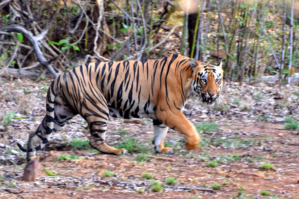 A 32-year-old man, who was grazing cattle in a village adjoining the buffer forests of the #DudhwaTigerReserve (DTR), fell prey to the big cat