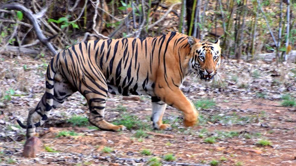 32-Year-Old Man Attacked, Killed by Tiger in Uttar Pradesh's #DudhwaTigerReserve    (📸: Devanand Sakhrkar/IANS)